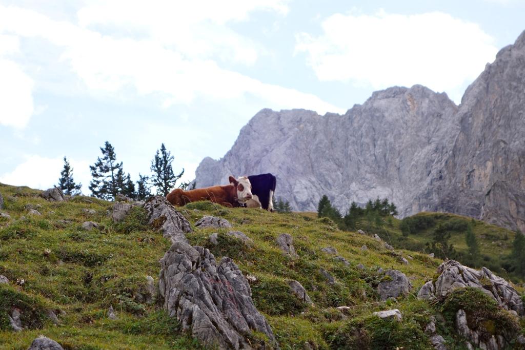 Die ruhigen Kühe im Sturm